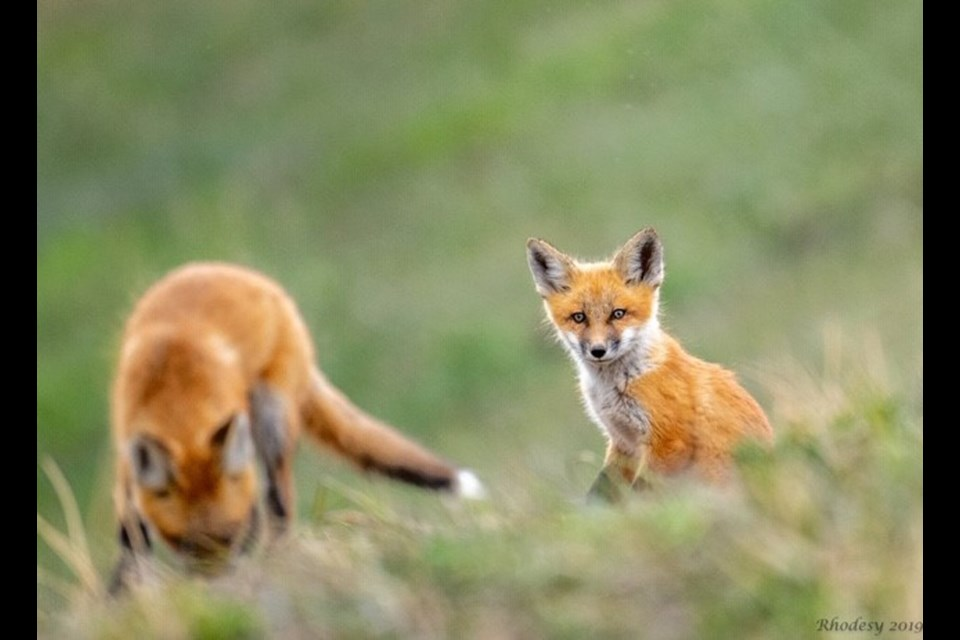 A pair fox kits residing on a property outside of Chestermere, were captured through the lens of local photographer Sharon Rhodes.  Photo by Sharon Rhodes/For Rocky View Publishing