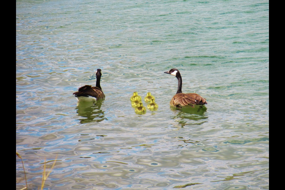 A family of goslings recently hatched near Brian Robb's property in Springbank, and he managed to capture photos of the new parents leading their offspring to the river for a swim.