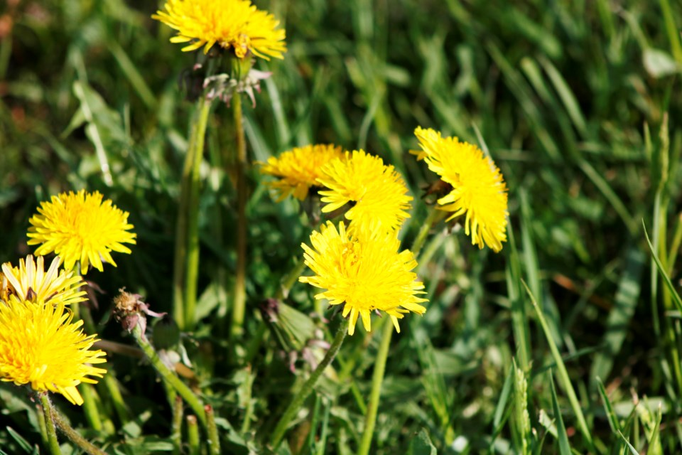 Dandelions are one of the first plants to sprout in the spring even where there is still frost on the ground. Some consider dandlions to be an annoying weed, but often their sight is welcomed as a signaling of the green grass and vibrant plant life of summer.  Photo by Nathan Woolridge/Rocky View Publishing