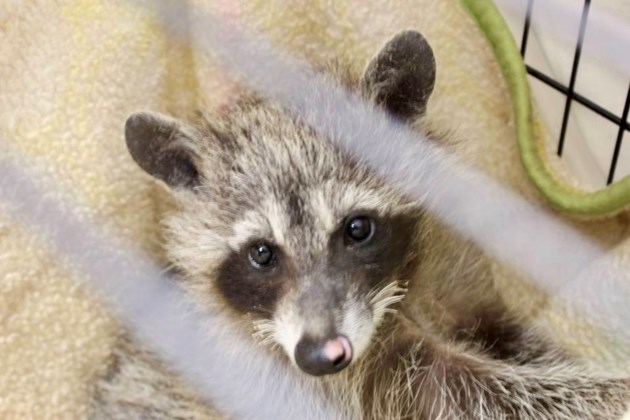 2017-09-12 Raccoon 2 Procyon Wildlife Centre