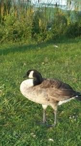 Gert the goose