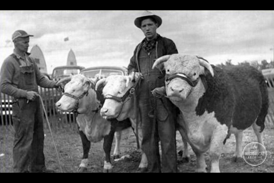 Cattle at the Barrie Fair, September 1958. Photo courtesy of the Barrie Historical Archive.