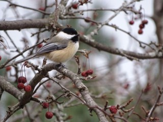 Ottawa Gatineau Bird Watchers Hold 100th Christmas Census