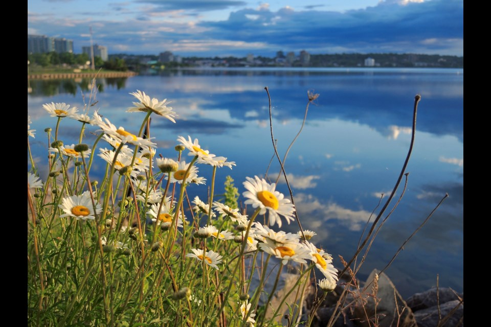 Morning daisies reach for the sun with gorgeous blue cloud reflections in Kempenfelt Bay. Sue Sgambati/BarrieToday