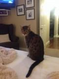 LOST BENGAL CAT!!!!!