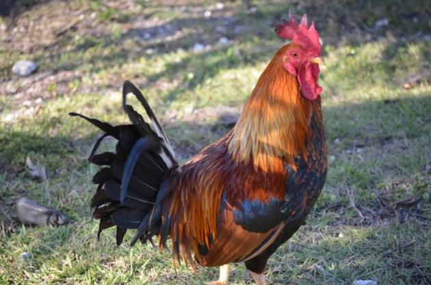 20170617 chicken walton