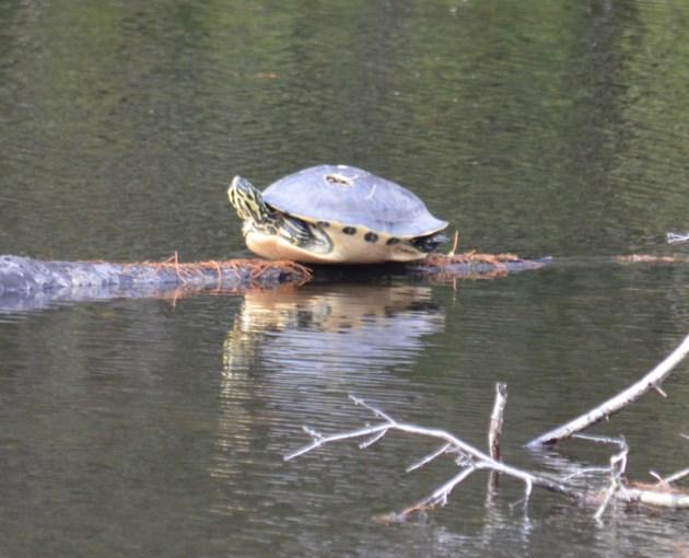 20190202 turtle walton