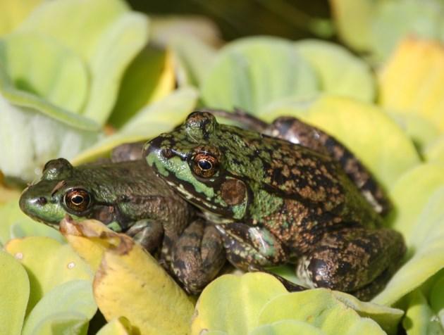 20190517 frogs walton