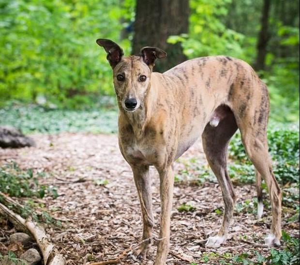 20180613 greyhound dog turl