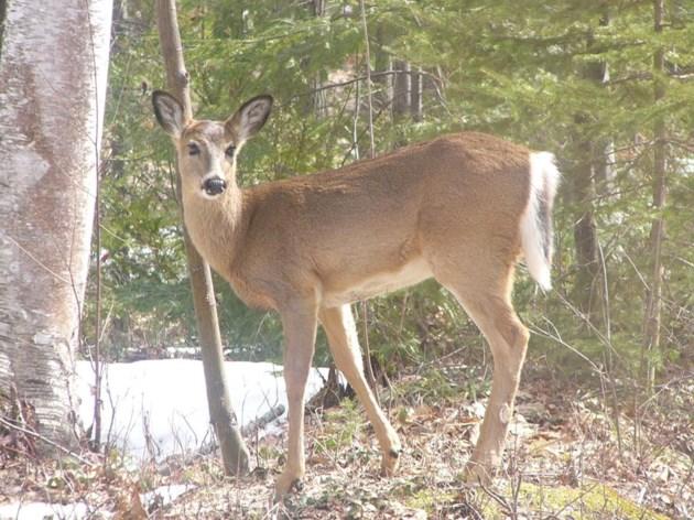 deer, white tailed mnrf 2017