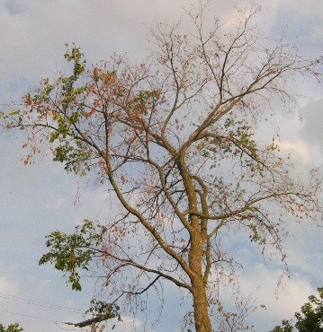 A tree dying from dutch Elm disease. Courtesy MNRF.