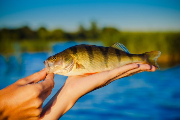 perch shutterstock_358403141 2016