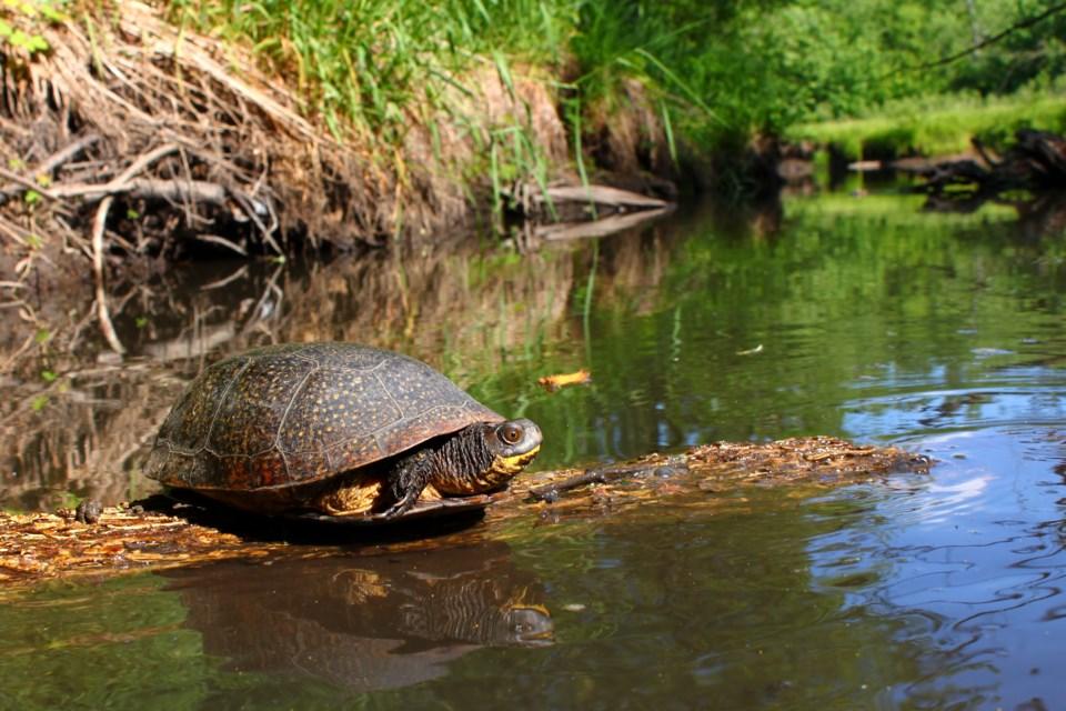 Blandings Turtle basking on a log.