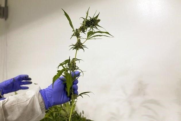 marijuana plant legal grow op 2017