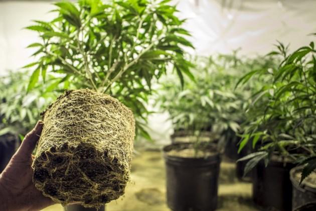 marijuana plants in pots AdobeStock_85696175 2017