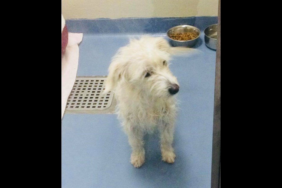 Charm the poodle/terrier mix is up for adoption at the Alliston and District Humane Society. Submitted photo