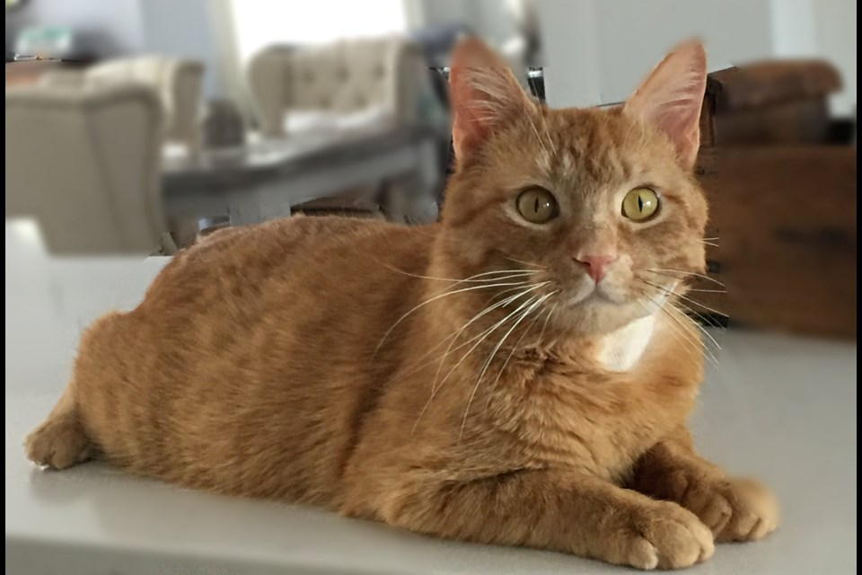 Bentley is up for adoption at the Alliston and District Humane Society. Submitted photo