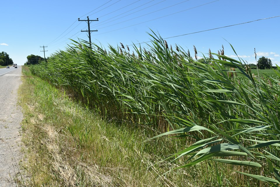 Phragmites along Yonge Street, south of Line 13, in BWG. Note that the Phragmites have been cut along the right-of-way, but they have spread into the ditch and adjacent private property. Miriam King/BradfordToday