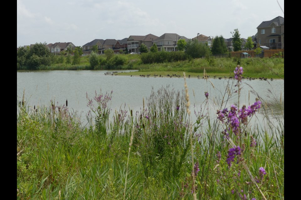 A stormwater pond off Langford Boulevard in Bradford West Gwillimbury. There are invasive goldfish in some of the town's stormwater ponds, according to Town of BWG staff. Jenni Dunning/BradfordToday