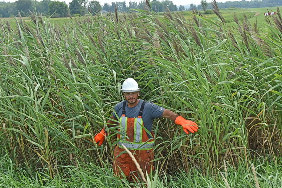Licenced contractor, Robin Egan of Green Stream lawn and vegetation management, in a stand of towering Phragmites australis on Line 4, Innisfil. Miriam King/BradfordToday