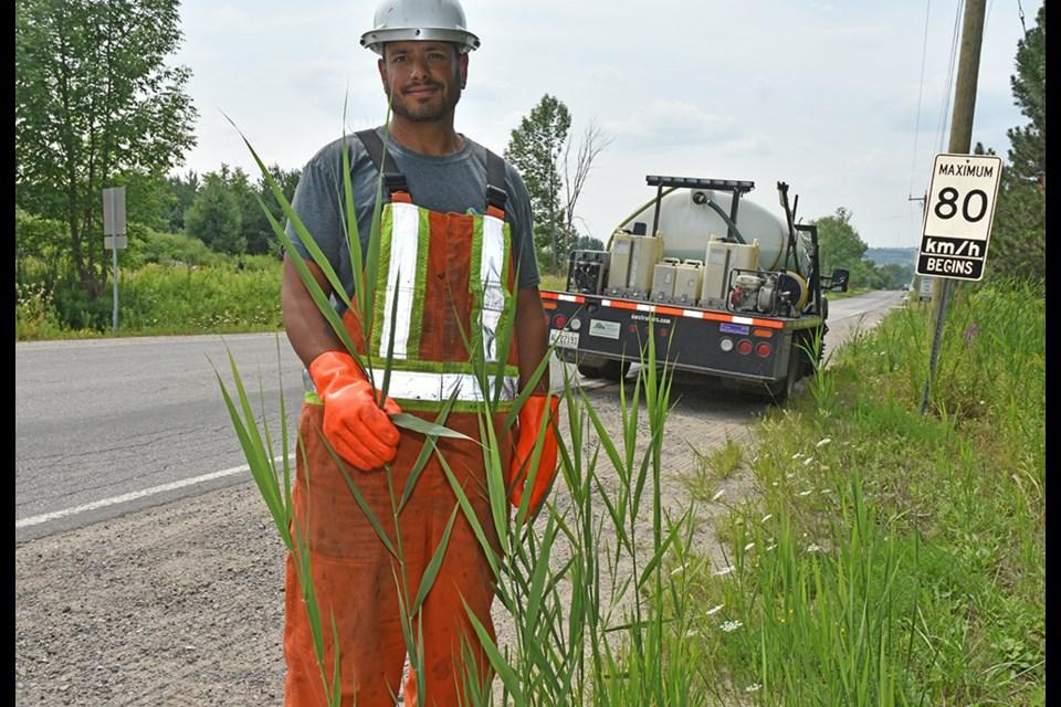 Robin Egan, of Green Stream, identifies individual Phragmites australis plants along Line 4 of Innisfil, preparatory to spraying herbicide to control the invader. Miriam King/BradfordToday