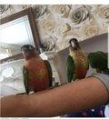 silly-tame-baby-conure-parrots-5cd9a2bc6982c