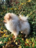 stunning-teddy-pomeranian-puppies-boy-and-girl-5bf015e9f1b30