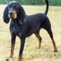 black-and-tan-coonhound_medium