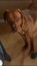 Lost dog Thor