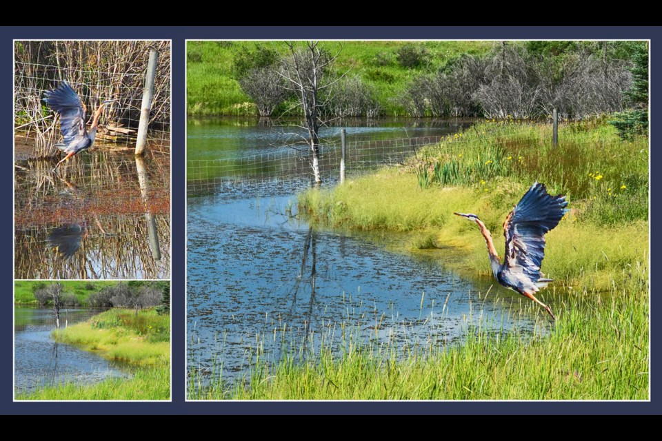 Great Blue Heron (top left), and his favourite Fireside pond exactly one year later (bottom left), inspire photoshopped image of Great Blue taking flight across time.       Photos by Warren Harbeck