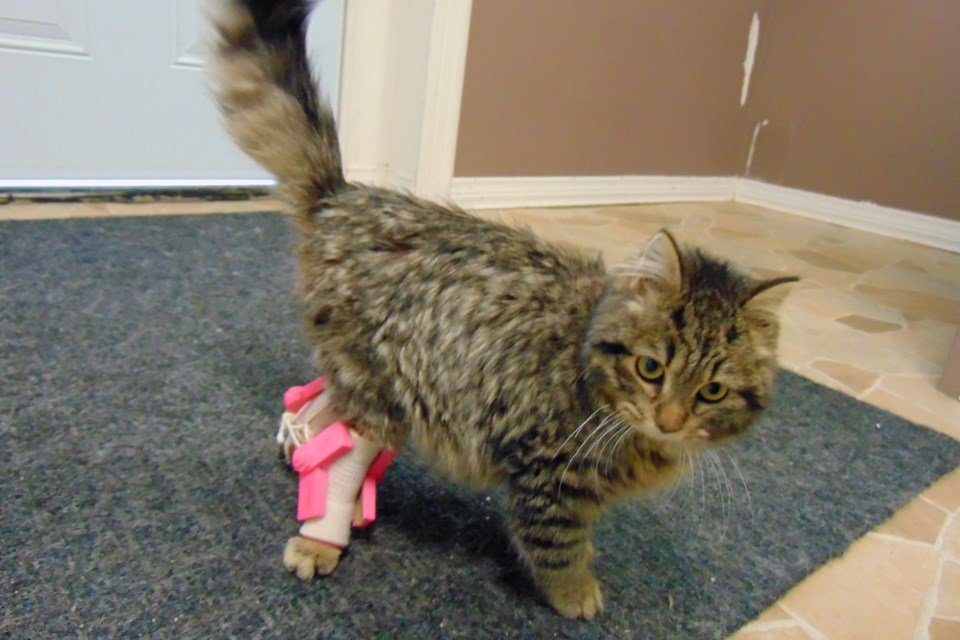 Carly the cat now has custom 3D-printed leg braces that allow her to stand. Photo provided