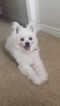 Lost dog: White pomeranian