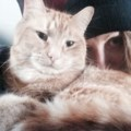 Orange Cat Missing from King