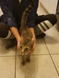 Found: female tabby kitten