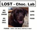 Chocolate lab, Fudge in Aberfoyle