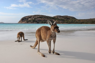 Australia Beach and Kangaroo Adobe Stock