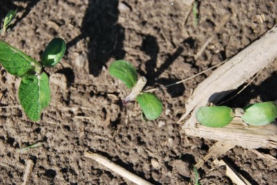 soybean early emergence 1