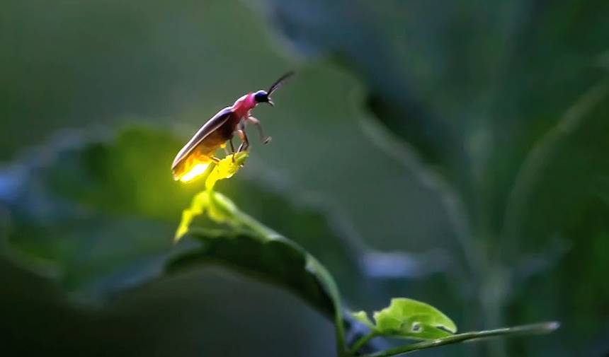 There's a reason you're seeing more fireflies this year