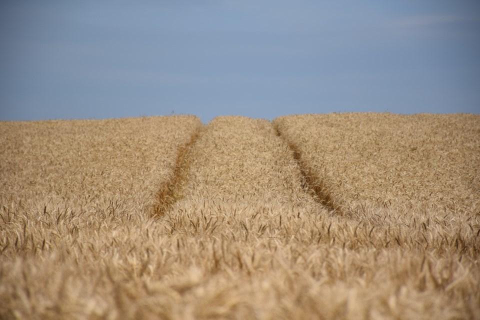 Near ready wheat.  Rob O'Flanagan/GuelphToday