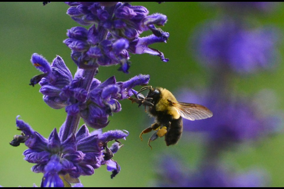 A bee hunts for pollen at the Guelph Enabling Garden on Monday afternoon. Tony Saxon/GuelphToday
