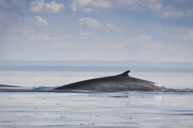 060919-fin whale-AdobeStock_75991323