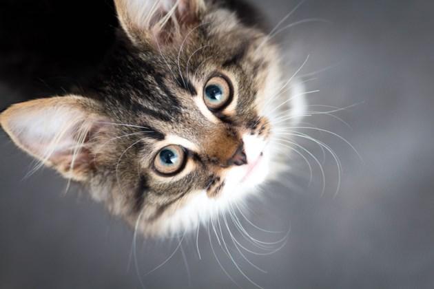 071318-cat-pet-animal-AdobeStock_84666330