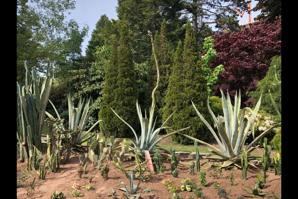 The agave plant on June 12th (Meghan Groff/HalifaxToday.ca)