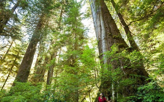 Provincial government preserving old-growth groves