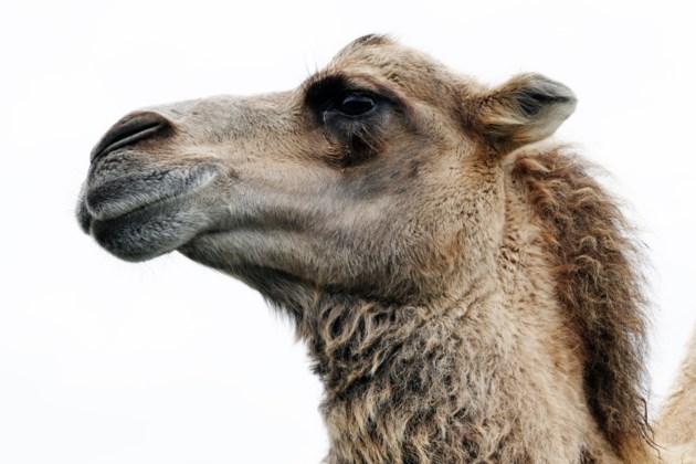 animal-arabian-camel-camel-133395