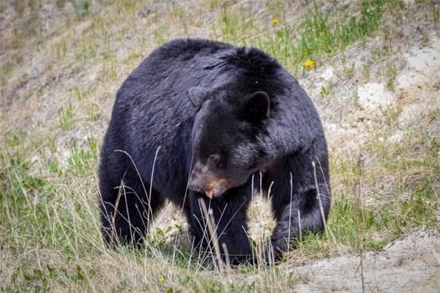 black-bear