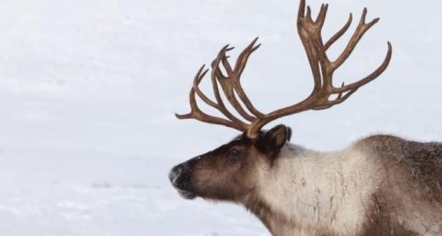 caribou-reindeer2
