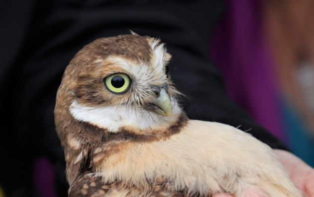 VIDEO: Adorable burrowing owls banded south of Kamloops