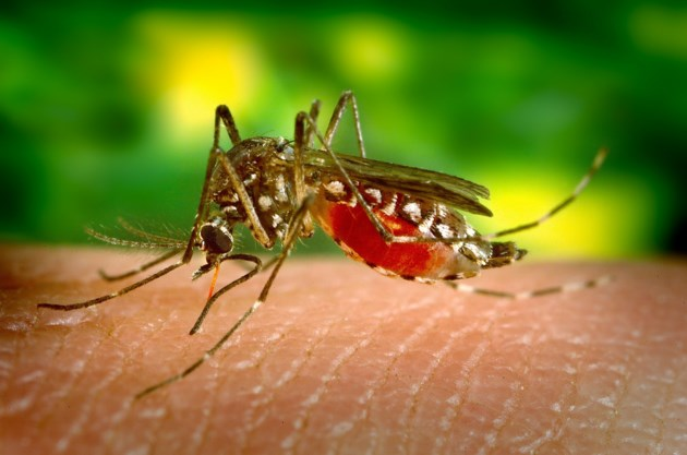 mosquito-542156_1920