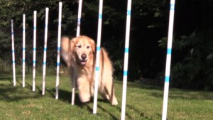 VIDEO: New in the Soo - Clever Canines Training